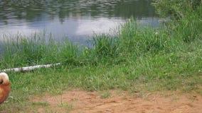 Ruddy Shelduck on the summer lakeside, Moscow suburbs Russia. stock footage