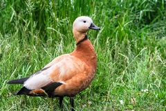Ruddy Shelduck on the summer lakeside, Moscow suburbs Russia. The ruddy shelduck or Tadorna ferruginea, known in India as the Brahminy duck, is a member of the Stock Images