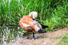Ruddy Shelduck on the summer lakeside, Moscow suburbs Russia. The ruddy shelduck or Tadorna ferruginea, known in India as the Brahminy duck, is a member of the Stock Photography