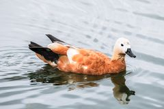 Ruddy Shelduck on the summer lakeside, Moscow suburbs Russia. The ruddy shelduck or Tadorna ferruginea, known in India as the Brahminy duck, is a member of the Royalty Free Stock Image