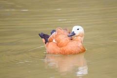 Ruddy shelduck swimming on lake Royalty Free Stock Image