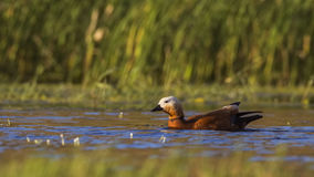 Ruddy Shelduck Swimming Stock Photos