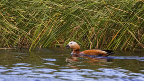 Ruddy Shelduck Swimming Royalty Free Stock Photo