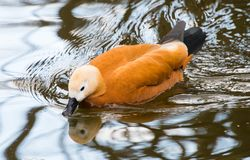 Ruddy shelduck swimming in water. The ruddy shelduck, Tadorna ferruginea, known in India as the Brahminy duck, is a member of the family Anatidae. It has orange royalty free stock image