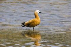 Ruddy Shelduck Tadorna ferrigunea, Brahminy Duck. Chambal river, Rajasthan, India stock photography