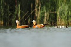 Ruddy Shelduck Tadorna ferrugienea family Royalty Free Stock Photography