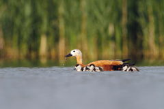 Ruddy Shelduck Tadorna ferrugienea family Stock Photography