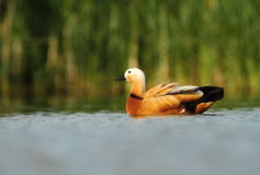 Ruddy Shelduck Tadorna ferrugienea Royalty Free Stock Photo