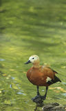 Ruddy Shelduck (Tadorna ferruginea) Stock Image