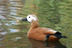 Ruddy Shelduck - Tadorna Ferruginea. Ruddy Shelduck swim in lake Stock Photos