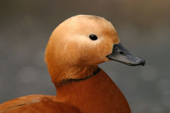 Ruddy Shelduck, Tadorna ferruginea Stock Photos
