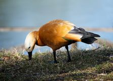 Female Ruddy shelduck, tadorna ferruginea, casarca ferruginea royalty free stock photo
