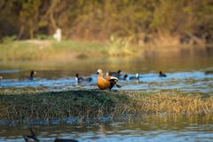 Ruddy shelduck or Tadorna ferruginea closeup in a winter evening soft light royalty free stock photo