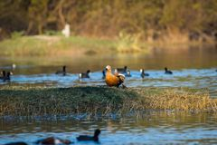 Ruddy shelduck or Tadorna ferruginea closeup in a winter evening soft light stock photography