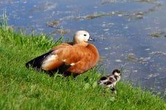 Ruddy shelduck Tadorna ferruginea with ducklings Stock Photos