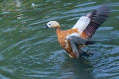 Ruddy Shelduck. The Ruddy Shelduck(Tadorna ferruginea) is flapping wings Royalty Free Stock Photos