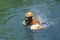 Ruddy Shelduck. The Ruddy Shelduck(Tadorna ferruginea) is having a bath Stock Photography