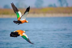 Ruddy Shelduck, Tadorna Ferruginea Known In India As The Brahminy Duck Royalty Free Stock Photo