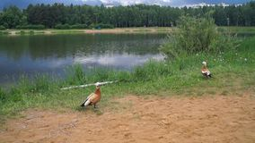 Small urban lake, inhabited by ruddy Shelduck, Moscow suburbs Russia. The ruddy shelduck or Tadorna ferruginea, known in India as the Brahminy duck, is a member stock footage