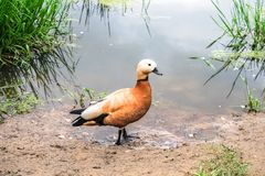 Ruddy Shelduck on the summer lakeside, Moscow suburbs Russia. The ruddy shelduck or Tadorna ferruginea, known in India as the Brahminy duck, is a member of the Royalty Free Stock Images