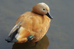 Ruddy Shelduck - Tadorna ferruginea Royalty Free Stock Photography