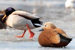 Ruddy shelduck ,Tadorna ferruginea and Mallard Duck. Ruddy shelduck (Tadorna ferruginea), standing on ice on the lake Royalty Free Stock Photo