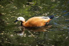 Ruddy shelduck (Tadorna ferruginea). Is a member of the duck, goose and swan family Anatidae. It is in the shelduck subfamily Tadorninae Stock Photo