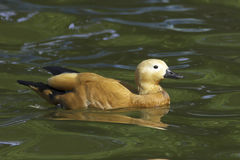 Ruddy shelduck  / Tadorna ferruginea Stock Image