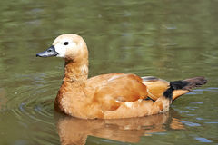 Ruddy shelduck (Tadorna ferruginea) Stock Photo