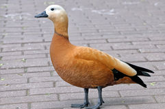 Ruddy shelduck Tadorna ferruginea stands on stone pavement Royalty Free Stock Image