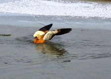 A ruddy shelduck taking a bath Stock Images