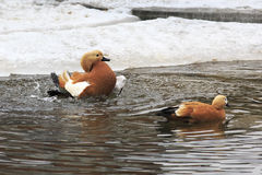 Ruddy shelduck wash Stock Photo