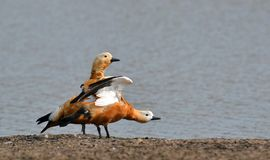 Ruddy Shelducks/Brahminy Ducks resting on the Bank of Pond Stock Photography