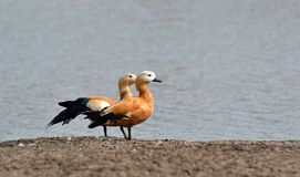 Ruddy Shelducks/Brahminy Ducks resting on the Bank of Pond Stock Photos
