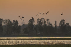 Ruddy shelducks flight on sunset, Bardia national park, Nepal Stock Photo