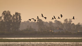 Ruddy shelducks flight on sunset, Bardia national park, Nepal Royalty Free Stock Image
