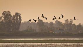 Ruddy shelducks flight on sunset, Bardia national park, Nepal Royalty Free Stock Image