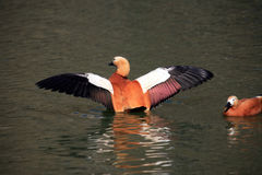 Ruddy Shelducks Stock Photos