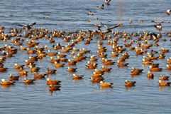 Ruddy shelducks in the Songhua River Royalty Free Stock Images