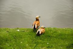 Ruddy shelducks Stock Images