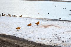 Ruddy shell ducks on the shore. Ruddy shell ducks walking in melting snow on bank of the river. Russian nature landscape in March on Moskva river bank Royalty Free Stock Photos