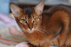 Ruddy somali cat portrait Stock Image
