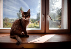Ruddy somali kitten. Seating on a windowsill Royalty Free Stock Photography