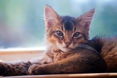 Ruddy somali kitten. Seating on a windowsill Stock Images