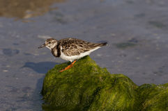 Ruddy Turnstone Royalty Free Stock Photography