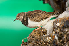 Ruddy Turnstone. With a green background Stock Image