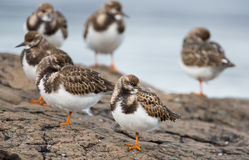Ruddy Turnstone Stock Photos