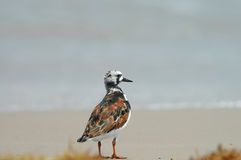 Ruddy Turnstone royalty free stock images