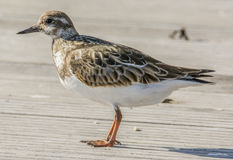 Ruddy Turnstone 4520 Fotografie Stock