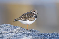 Ruddy Turnstone, Arenaria interpres Stock Photo